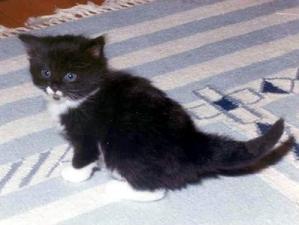 kashi saga  norwegian forest cat breeder new jersey usa